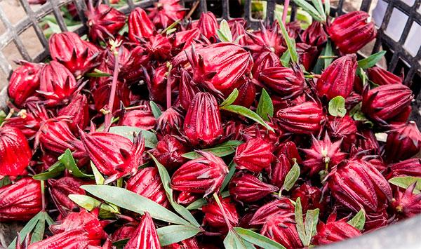 flor de hibisco benefícios